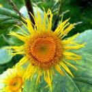 100 Elecampane seeds,Inula Helenium,Medicinal Herb,SW41