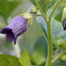 30 Belladonna Atropa seeds,Medicinal Herb,SW42