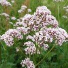 300 Valeriana Officinalis seeds,Medicinal Herb,SW43