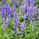 400 Chia organic,Salvia Hispanica seeds,Medicinal Herb,Chia Salvia seeds,Culinary Herb,SW47