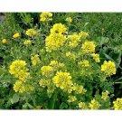 500 mustard seeds,black mustard,organic mustard,SW49