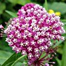 40 Asclepias Incarnata seeds,Milkweed seeds, SW57