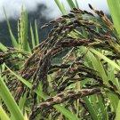 50 Rice Black seeds,Oryza Sativa,SW58