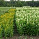 50 Lupin multi-years,Lupine seeds,SW60