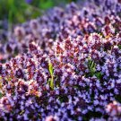 150 Thymus seeds,Creeping Thyme,SW61