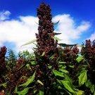100 Chenopodium quinoa ,Black Quinoa seeds,Medicinal Herb,Culinary Herb,SW63