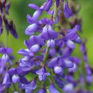 100 Galega officinális,Galega seeds,Medicinal Herb,Culinary Herb,SW65