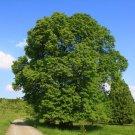 5 Tília platyphýllos seeds,Linden tree seeds,Large-leaved linden,Medicinal tree,SW66