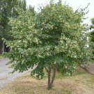 5 Tilia mandshurica seeds,Linden tree seeds,Medicinal tree,SW67