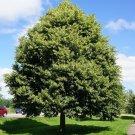 5 Tilia Amurensis seeds,Linden tree seeds,Medicinal tree,SW68