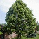 5 Tilia Americana seeds,American Linden tree seeds,Medicinal tree,SW69
