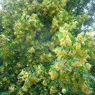 5 Tilia Caroliniana seeds,Caroliniana Linden tree seeds,Medicinal tree,SW70