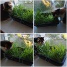 100 Grass for cats Seeds,Cat Grass,SW73