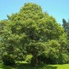 5 maple tree,Acer Pseudoplatanus,White Acer seeds,SW78