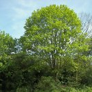 5 maple tree,Acer Platanoides,Acer seeds,SW79