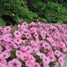 35 Pink Morning Glory seeds,Ipomoea seeds,Ipomoea Pink Terry,Ipomoea Purpurea, SW85