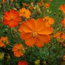 100 Cosmos orange seeds,Ipomoea seeds, SW87