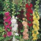40 Hollyhock,Malva alcea seeds,alcea rosea,Malvaceae,SW93