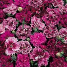 100  Carnation,Terry Mix,Cloves Terry Mix seeds,Dianthus caryophyllus L,carnation,SW95