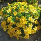 15 nasturtium seeds,Nasturtium Yellow Flare,SW96