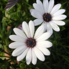 100 Dimorphotheca seeds,White African Daisy,Ecklonis,SW100