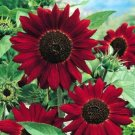 50 Sunflower Red seeds,organic seeds,Easy to grow,SW89