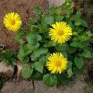 100 Doronicum seeds,Doronicum orientale,Medicinal Herb,SW101