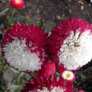50 aster Red seeds,Pompon aster,red aster,SW106