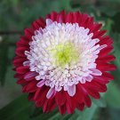 50 aster Red ,Pompon aster,red aster,SW106