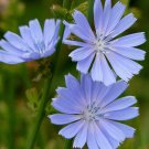 300 Cichorium seeds,Chicory,red aster,SW107