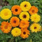 100 Calendula seeds,Calendula officinalis,SW210