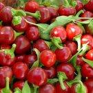 Hot pepper CHERRY RED,Cherry Bomb,red hot chile pepper,capsicum,organic, 0,25 g - ##27