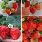 150 pcs Sweet taste, high survival rate, fresh strawberry seeds, fruit seeds