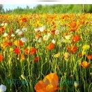 30 pcs big mutli-colors Poppy Flower seeds