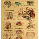 Human body illustration - brain system chart picture Kraft paper poster Decorative painting