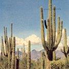 SAGUARO FOREST ARIZONA PICTURE POSTCARD #199 USED 1953