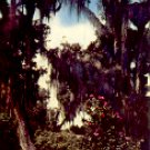 LIVE OAKS AND CAMELLIAS DS-112 COLOR POSTCARD #544 UNUSED