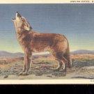 Howling Coyote-  Postcard- (# 46)