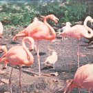 Florida is famous for the Flamingo   Postcard (#438)