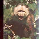 Molly a cinnamon ringtail monkey at Sunken Gardens     Postcard  (# 585)