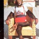 Waiting for a kiss - Chimpanzee at Monkey Jungle, Florida  Postcard- (#  596)