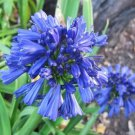 KIMIZA - 25+ AGAPANTHUS BLUE LILY OF THE NILE FLOWER SEEDS / PERENNIAL