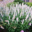 KIMIZA - 50+ PURE WHITE HYSSOP AGASTACHE FLOWER SEEDS PERENNIAL