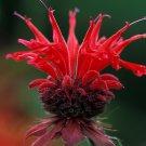 KIMIZA - 25+ RED RUBY MONARDA DIDYMA BEE BALM PERENNIAL FLOWER SEEDS / DEER RESISTANT / SCENTED