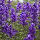KIMIZA - 40+ SALVIA VIRIDIS BLUE MONDAY FLOWER SEEDS / PERENNIAL / DEER & DROUGHT TOLERANT / SAGE