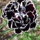 KIMIZA - 30+ BLACK / WHITE CARNATION FLOWER SEEDS / PERENNIAL