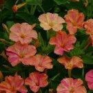 KIMIZA - 30+ YELLOW / RED BI-COLOR FOUR O'CLOCK MIRABILLIS FLOWER SEEDS / PERENNIAL