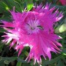 KIMIZA - 30+ DIANTHUS SUPERBUS ROSE CARNATION FLOWER SEEDS / PERENNIAL / GREAT GIFT