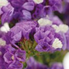 KIMIZA - 50+ LAVENDER STATICE FLOWER SEEDS / LONG LASTING ANNUAL / GREAT GIFT