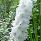 KIMIZA - GIANT PURE WHITE DELPHINIUM FLOWER SEEDS / PERENNIAL